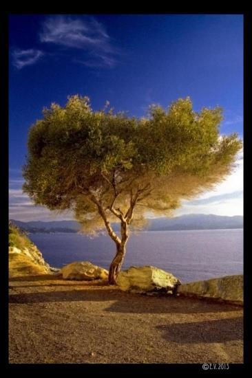 L'olivier du Cap Corse