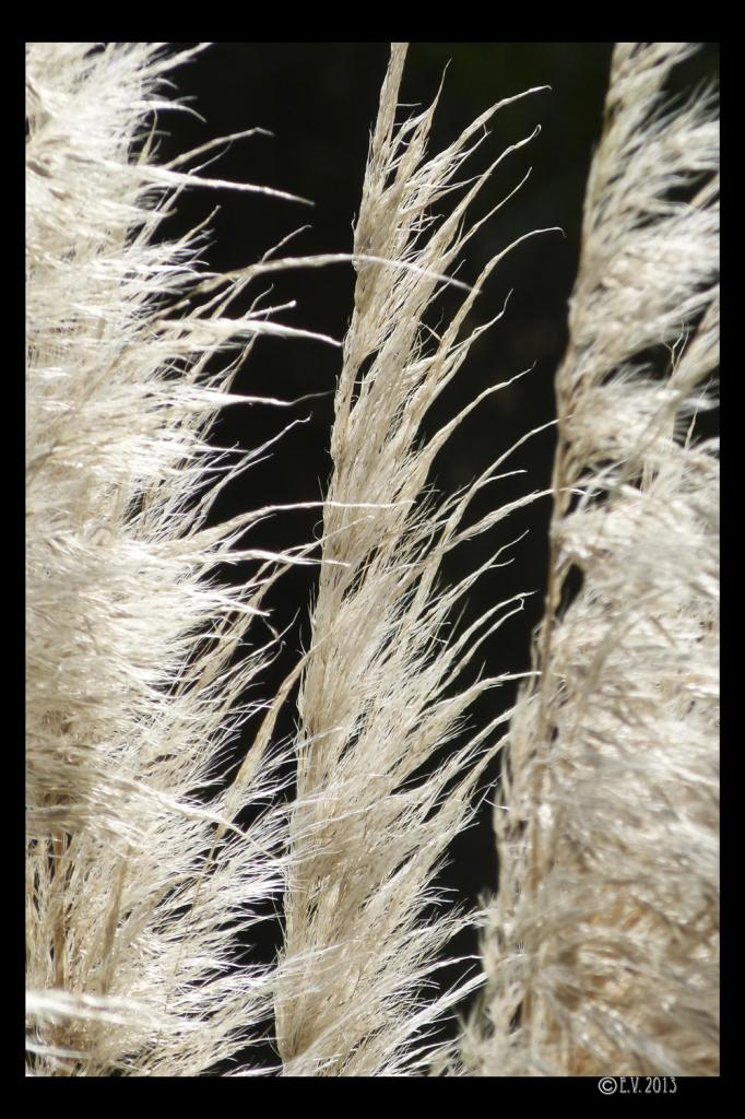 Les herbes de la pampa